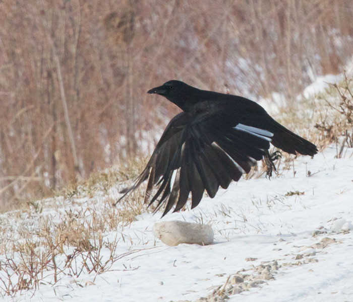 Pied-winged American Crow