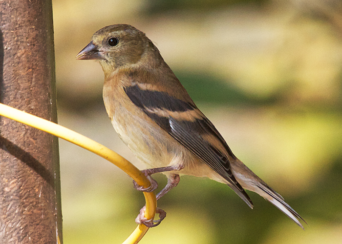 Young American Goldfinch