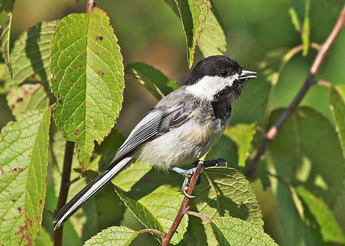 Black-capped Chickaee