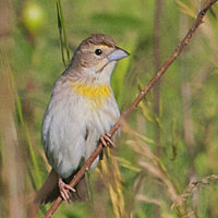 Dickcissel, female