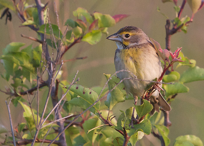 Female Dickcissel