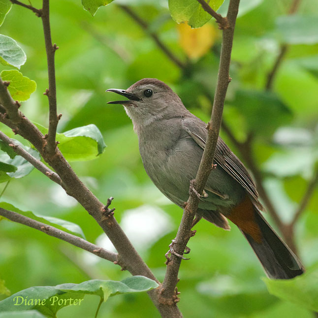 Gray-headed Catbird