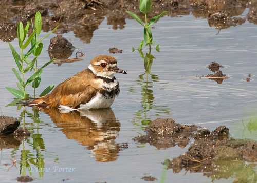 Soaking Killdeer