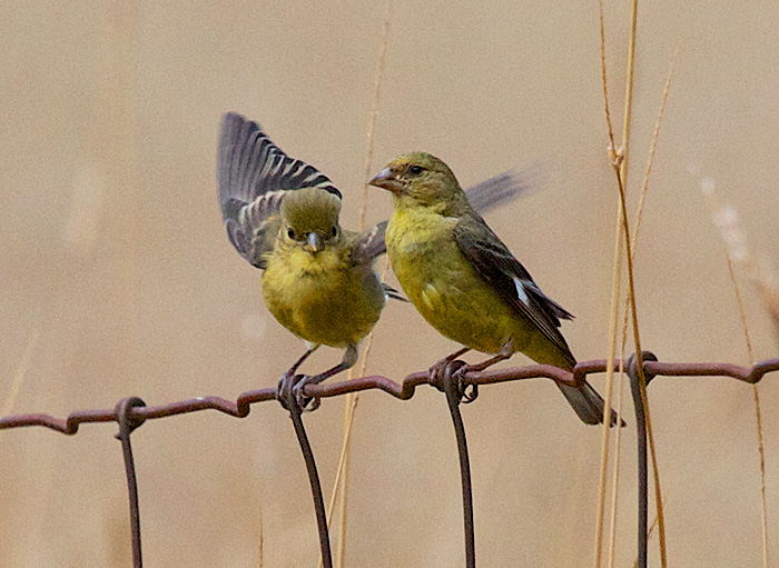 Lesser Goldfinches