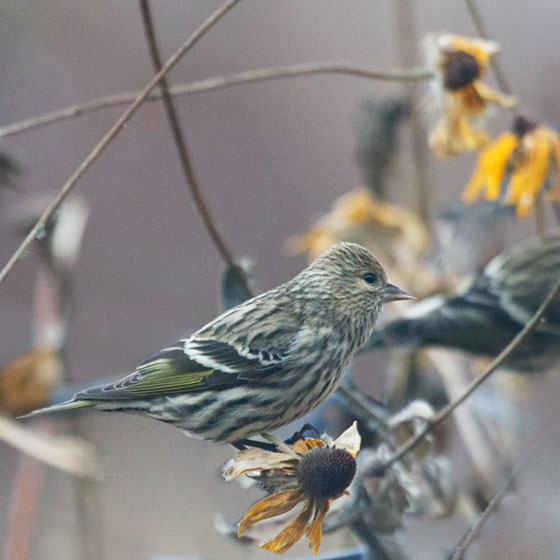Pine Siskin and Susan
